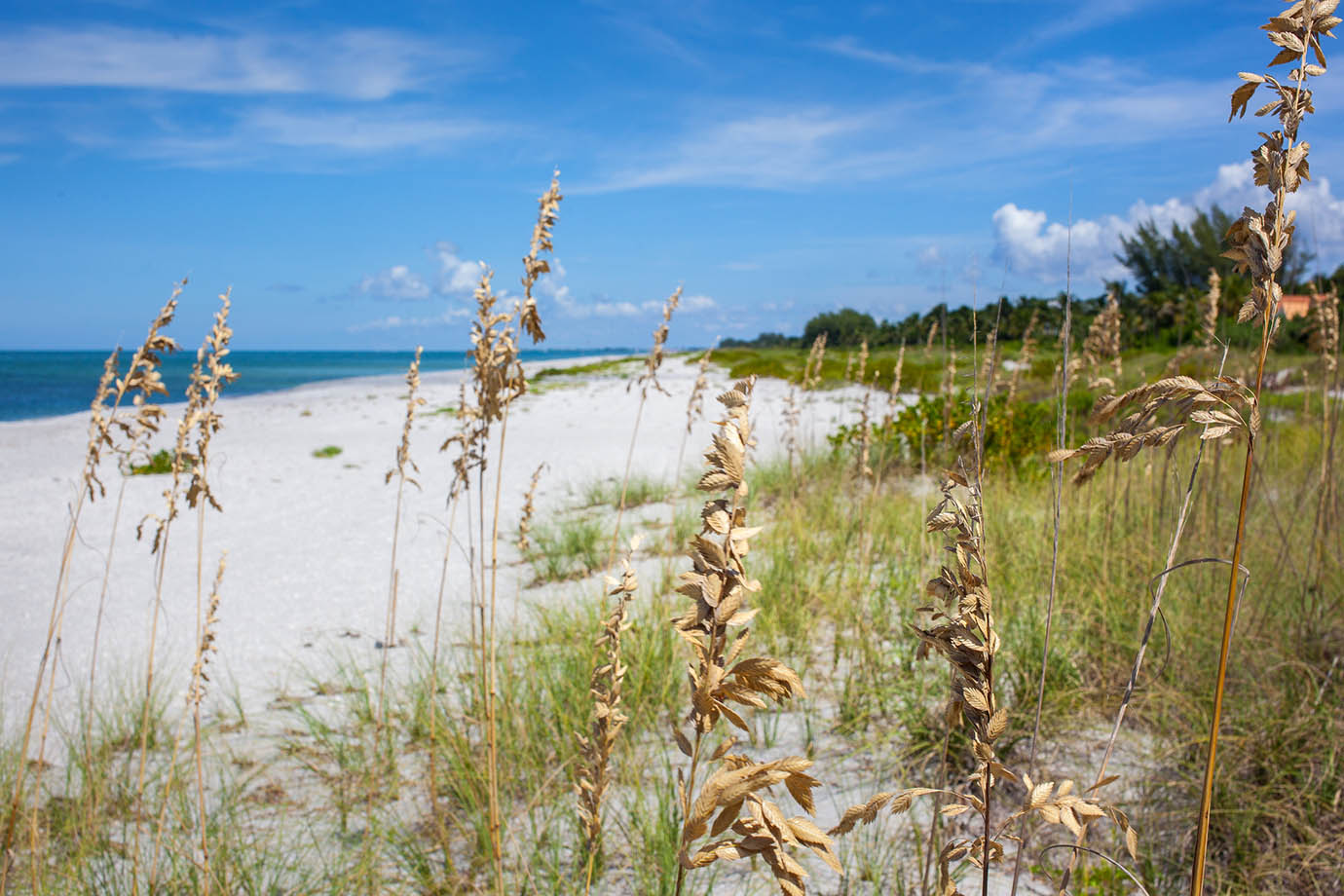 Sea Oat plants growing in the dunes of the white sands beach white the bright blue ocean in the distance on a clear sunny day in Captiva Island, FL